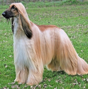 Afghan Hound - picture