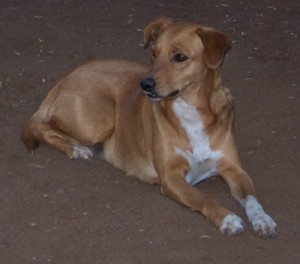Africanis dog picture