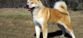 Akita Inu - picture