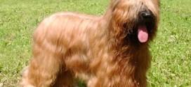 Briard dog breed picture
