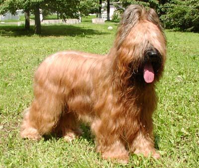 Kuvasz Puppies Price Briard dog breed infor...
