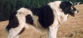 Bukovina Sheepdog - picture