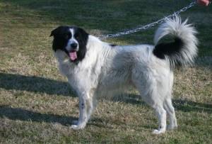 Bulgarian Shepherd Dog - picture