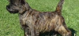 Cairn Terrier - picture