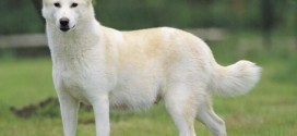 Canaan Dog - picture