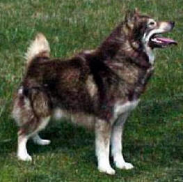 Canadian Eskimo Dog - picture
