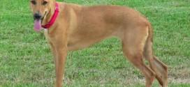 Carolina Dog - picture