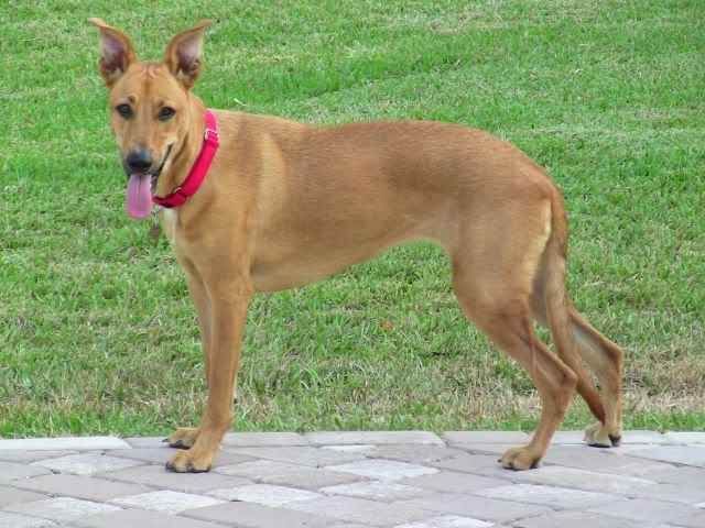 carolina dog breed information pictures and facts