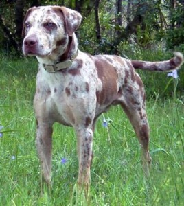 Catahoula Leopard Dog - picture