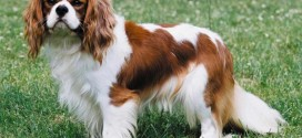 Cavalier King Charles Spaniel - picture