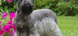 Cesky Terrier - picture