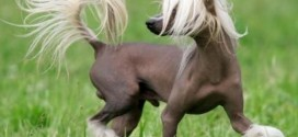 Chinese Crested - picture