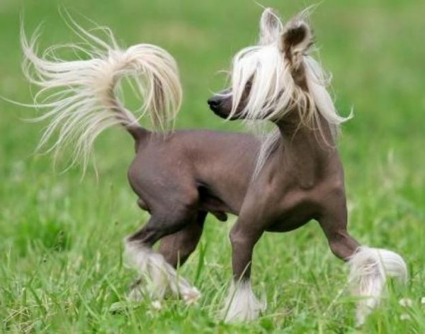 Chinese Crested Cat For Sale
