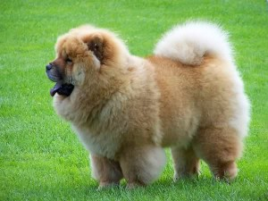 Chow Chow - picture