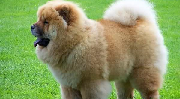 Chow Chow Dog Breed Information Pictures And Facts