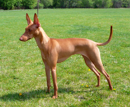 Cirneco Dell Etna dog breed information, pictures and ...