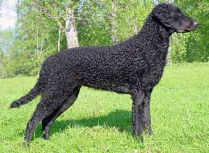 Curly Coated Retriever - picture