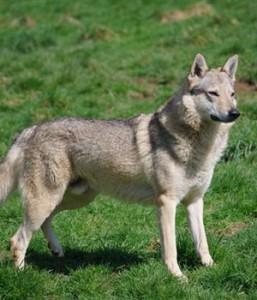 Czechoslovakian Wolfdog - picture