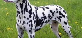Dalmatian - picture