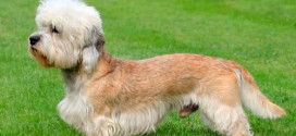 Dandie Dinmont Terrier - picture