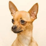 Deer-head Chihuahua - picture