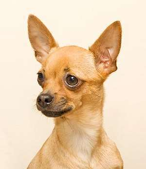 chihuahua head shapes different types of chihuahuas alldogsworld com 1736