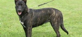 Dutch Shepherd Dog - picture