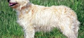 Dutch Smoushond - picture