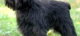 Affenpinscher - photo