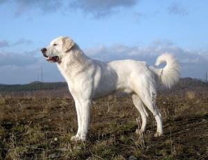 Akbash Dog photo