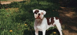Alapaha Blue Blood Bulldog - picture