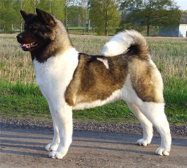 Dog Friendly Akita