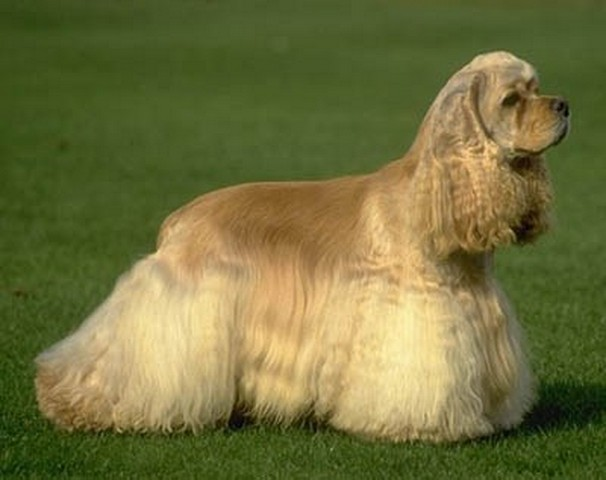 American Cocker Spaniel dog breed Information, pictures ...