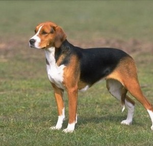 American Foxhound - picture