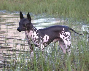 American Hairless Terrier - picture