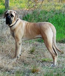 American Mastiff - picture