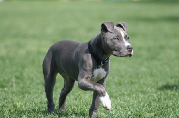 American pitbull dog - photo#24
