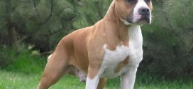 American Staffordshire Terrier - photo