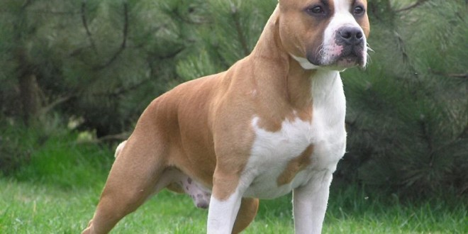 American Staffordshire Terrier dog breed information ... American Staffordshire Terrier 2014