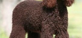 American Water Spaniel - picture