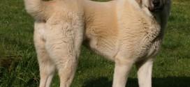 Anatolian Shepherd Dog - picture