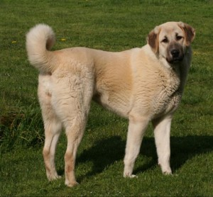 Anatolian Shepherd Dog - picture