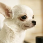 Apple-head Chihuahua - picture