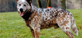 Australian Cattle Dog - picture