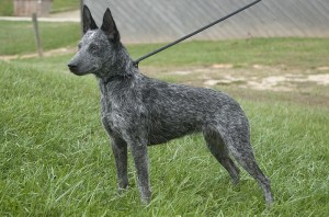 Australian Stumpy Tail Cattle Dog - on the grass pic