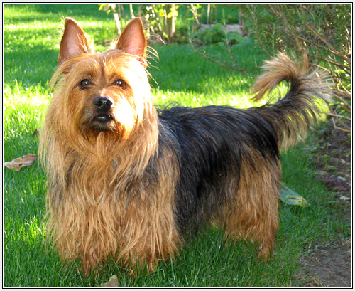 australian terrier dog breed information  pictures and facts