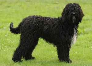 Barbet dog picture