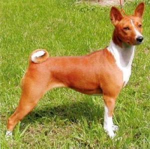 Basenji dog - picture