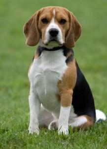 Beagle - picture