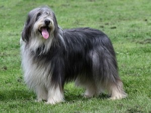 Bearded Collie - picture